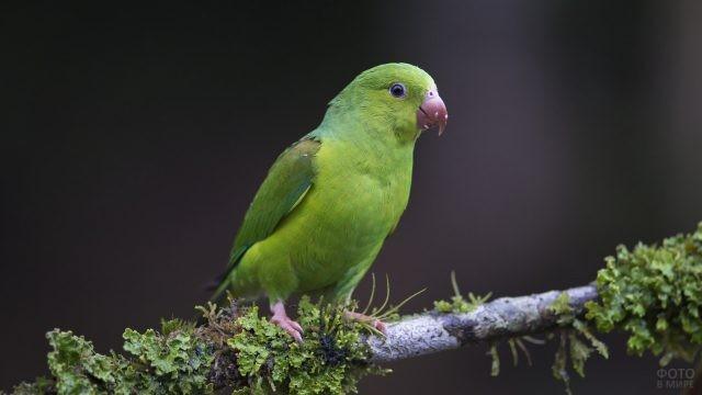 Попугай неразлучник стоит на ветке