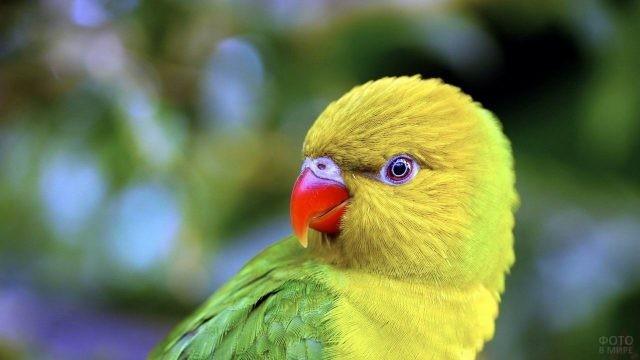 Попугай неразлучник в профиль