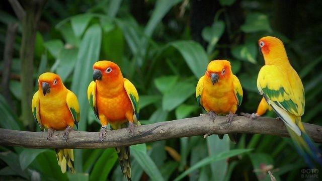 Попугайчики неразлучники сидят на одной ветке