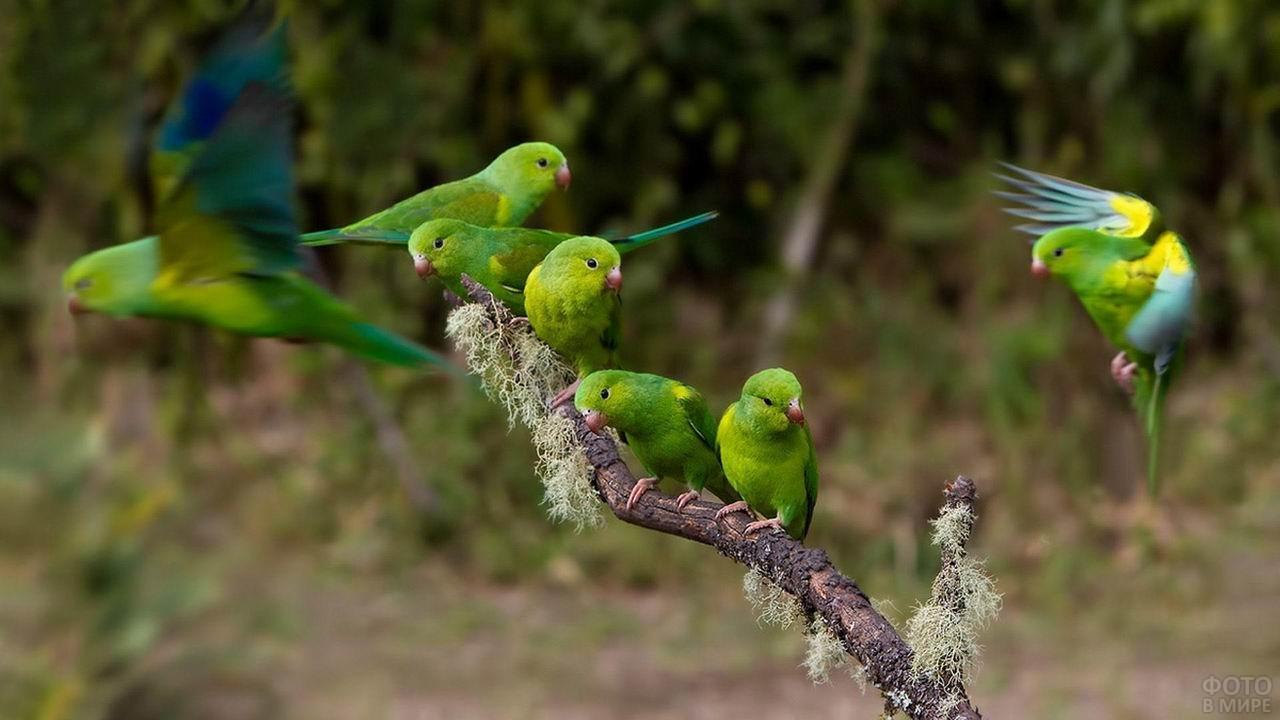 Зелёные неразлучники сидят на ветке