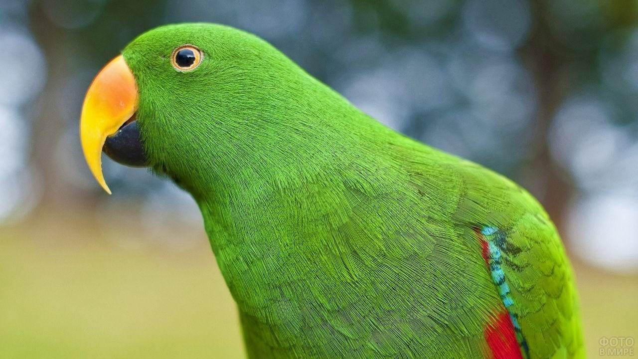 Зелёный попугай неразлучник крупным планом