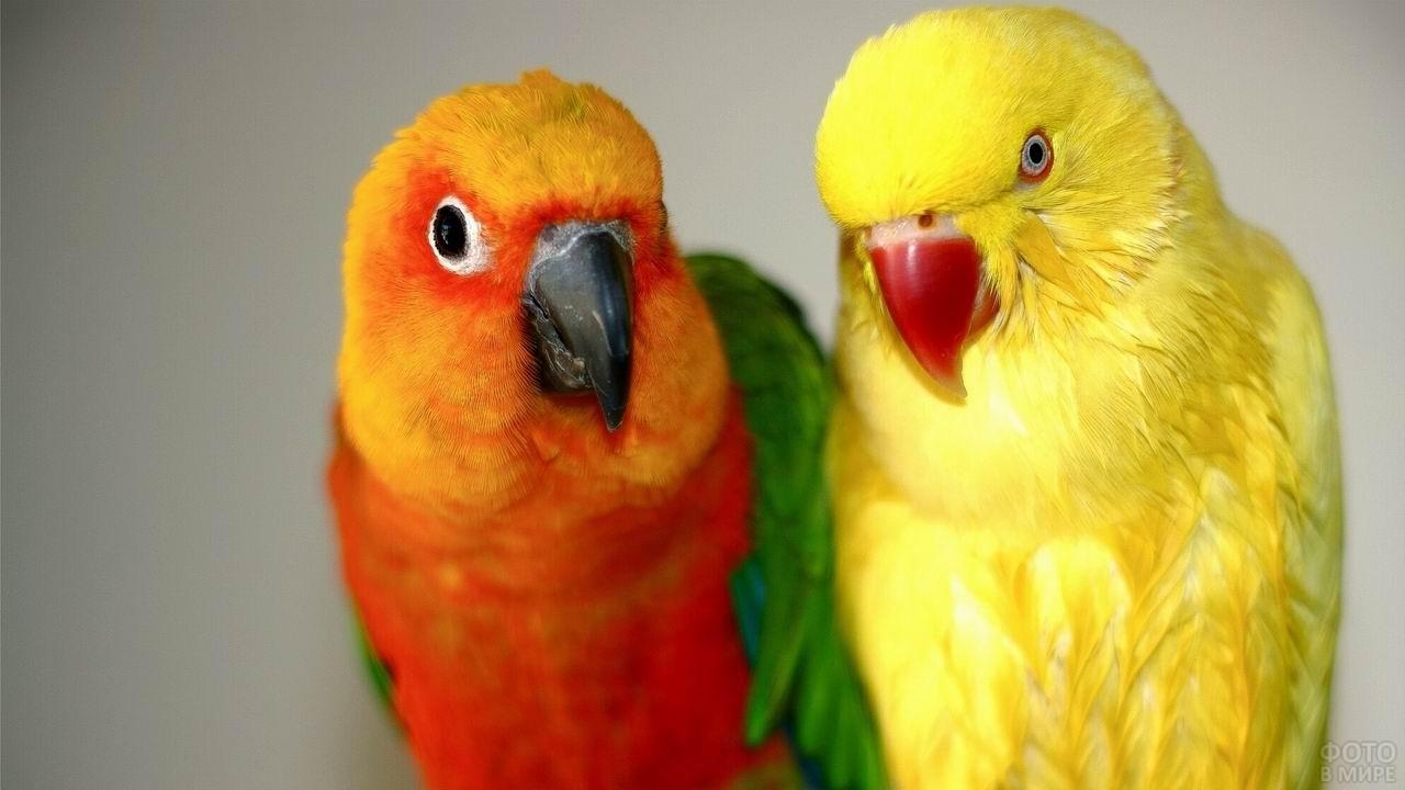 Жёлтый и оранжевый попугаи неразлучники