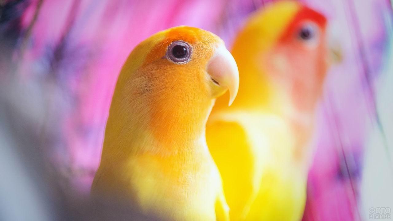 Жёлтый попугай неразлучник