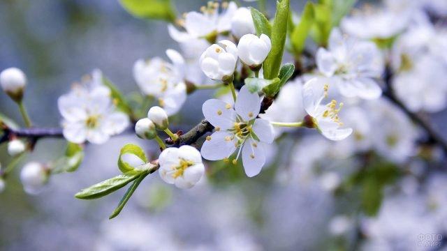Цветущее дерево - символ Первомая