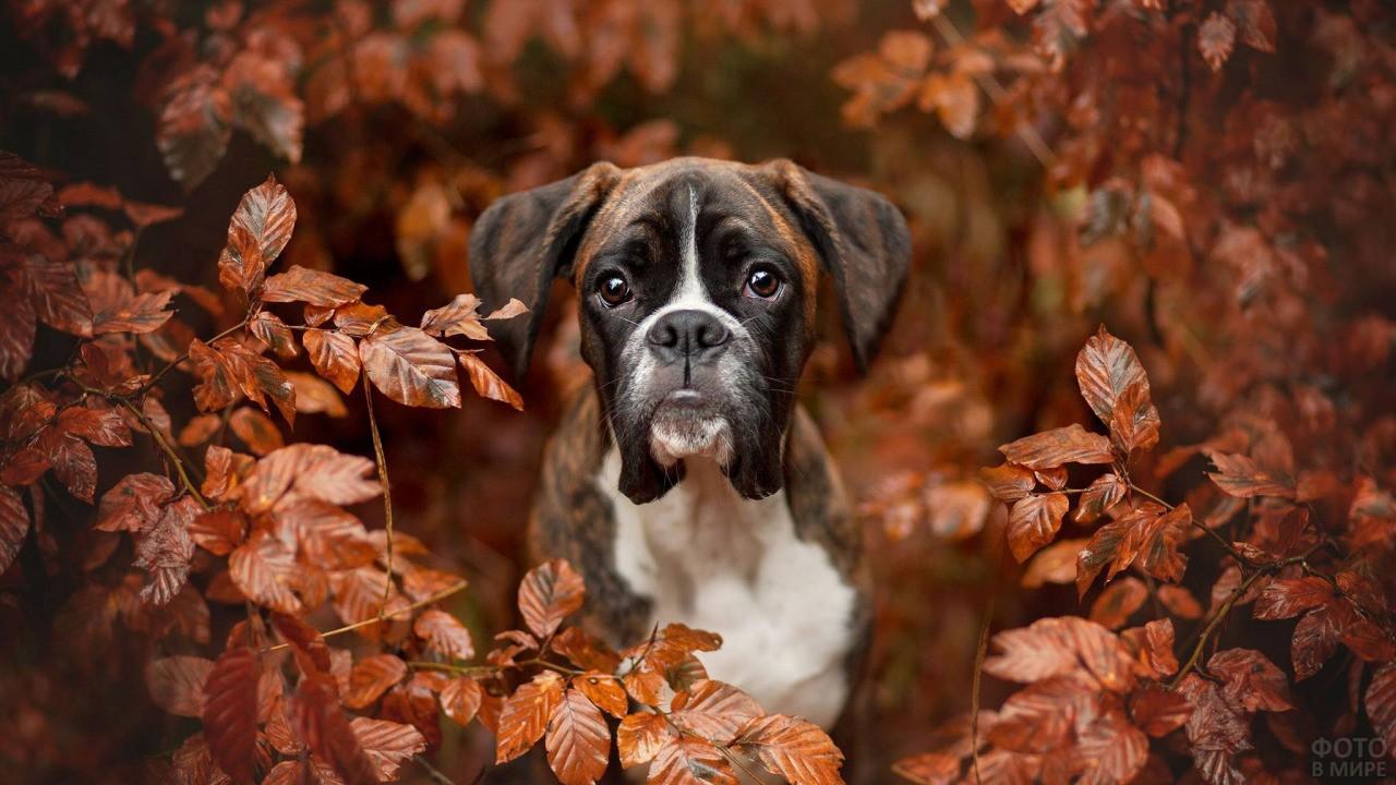 Боксёр среди бронзовой листвы