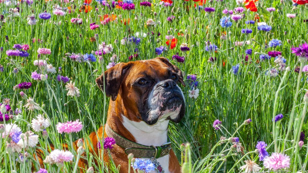 Пёс на цветочной поляне среди разноцветных гвоздик
