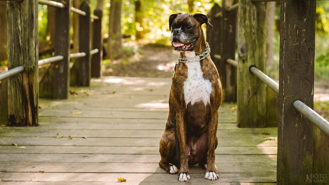 Пёс сидит на деревянном настиле моста с перилами