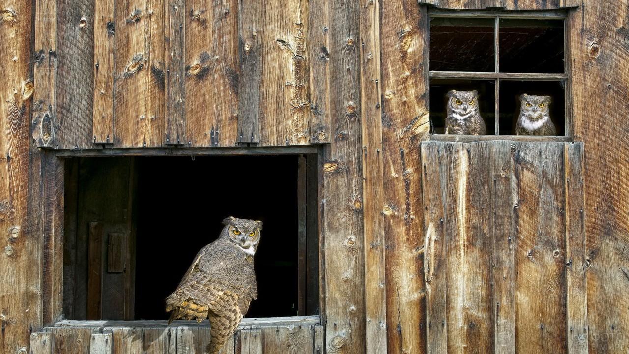 Совы живут в старом сарае