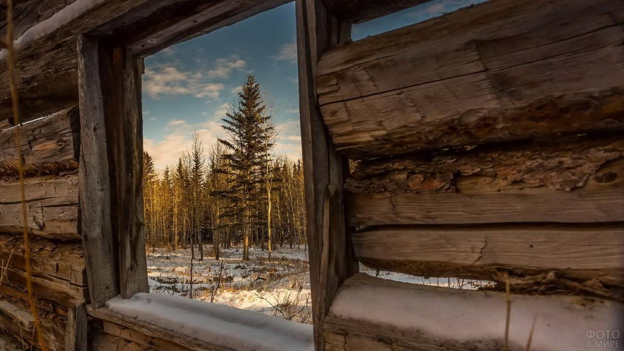 Вид из старого окна на ель в лесу