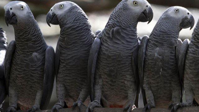 Четыре попугая жако