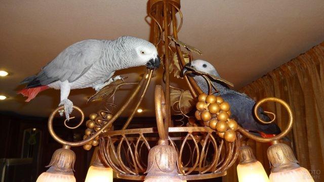 Два попугая жако сидят на люстре
