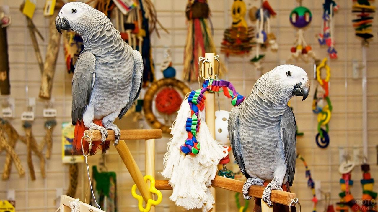 Два попугая жако сидят на жёрдочках