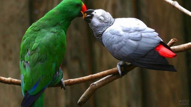 Попугаи амазон и жако