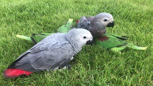 Попугаи сидят на газоне