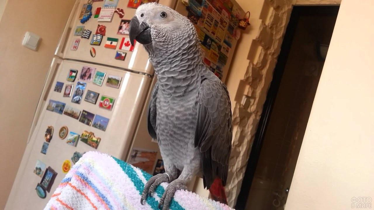 Попугай жако сидит на спинке стула