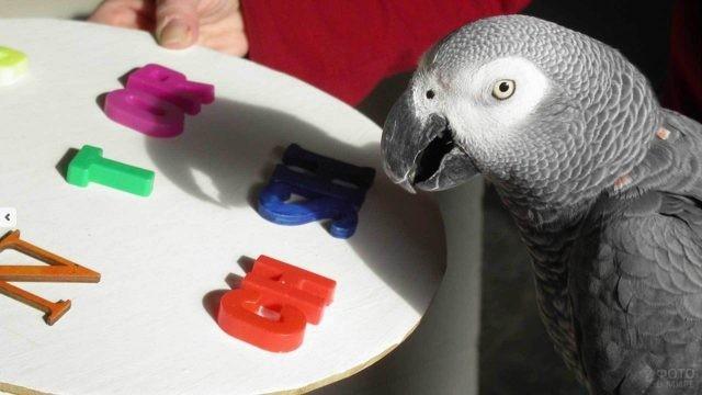 Попугай жако учит алфавит