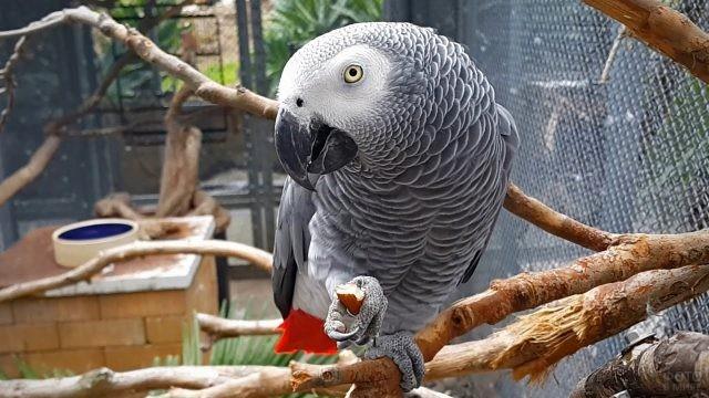 Попугайчик жако держит в лапке орех
