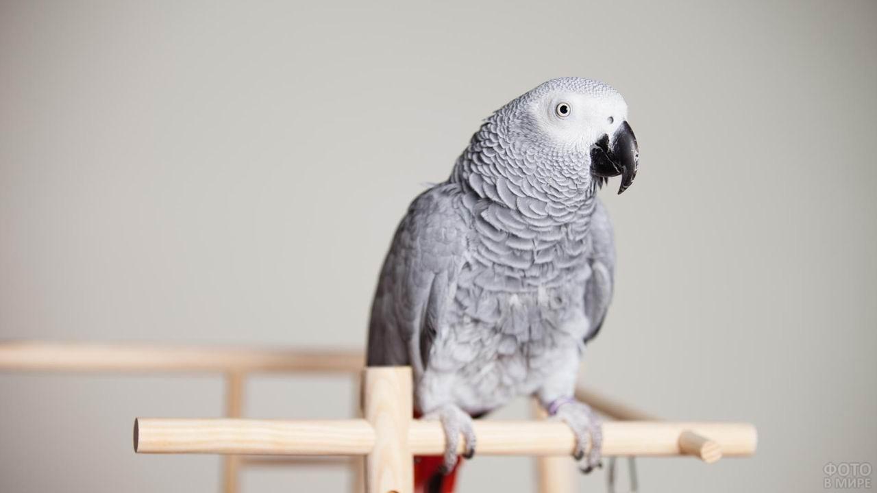 Попугайчик жако сидит на жёрдочке