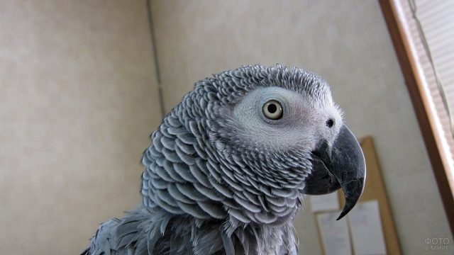 Серенький попугайчик жако