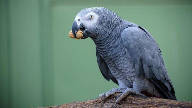 Серый попугай жако ест орех