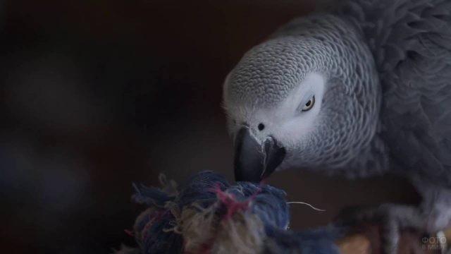 Серый попугайчик жако