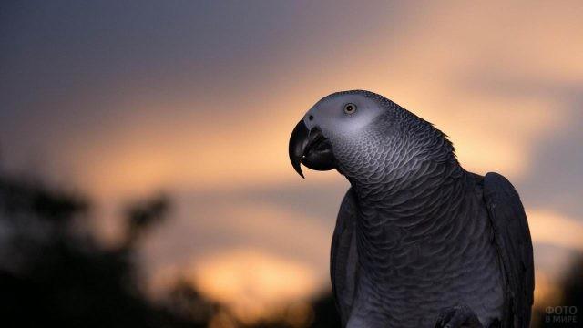 Жако на фоне заката