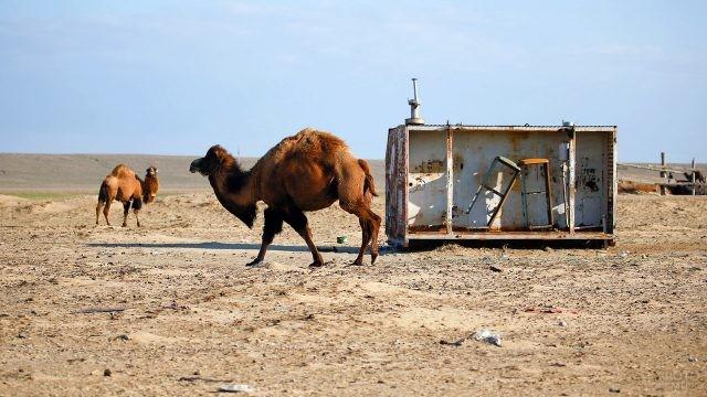 Верблюды в пустыне на месте Аральского моря