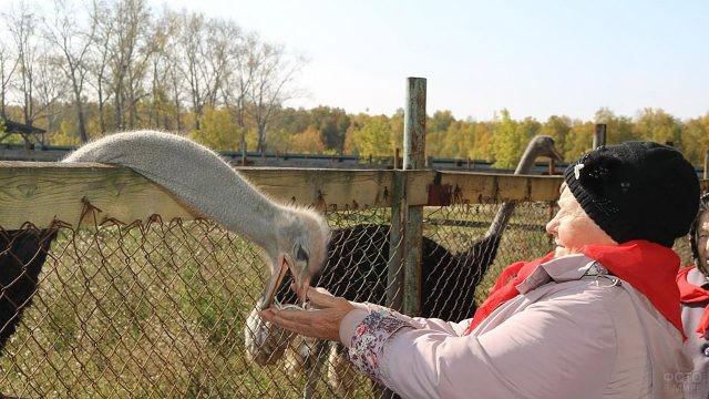 Пенсионерка с опаской кормит страуса на страусиной ферме