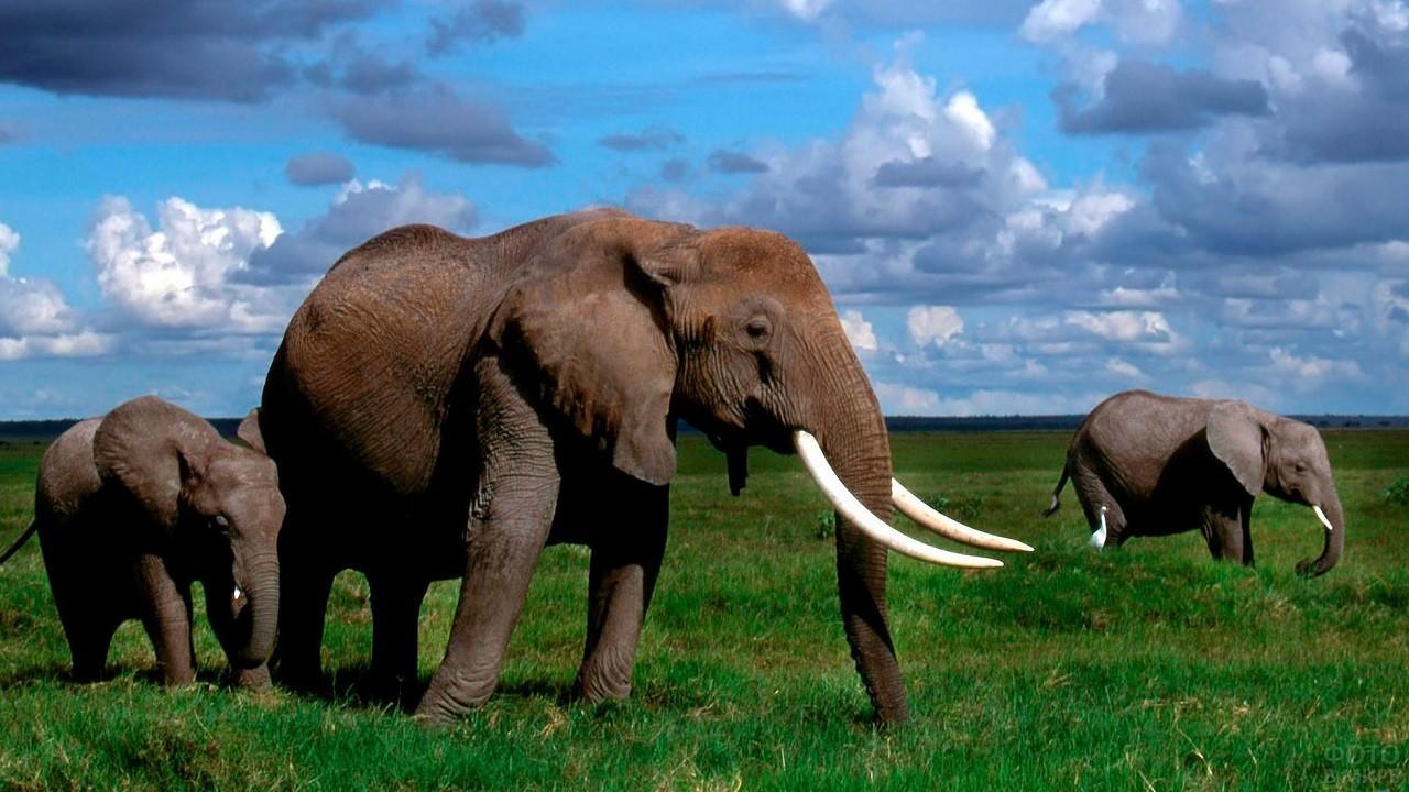 Африканские слоны гуляют под открытым небом