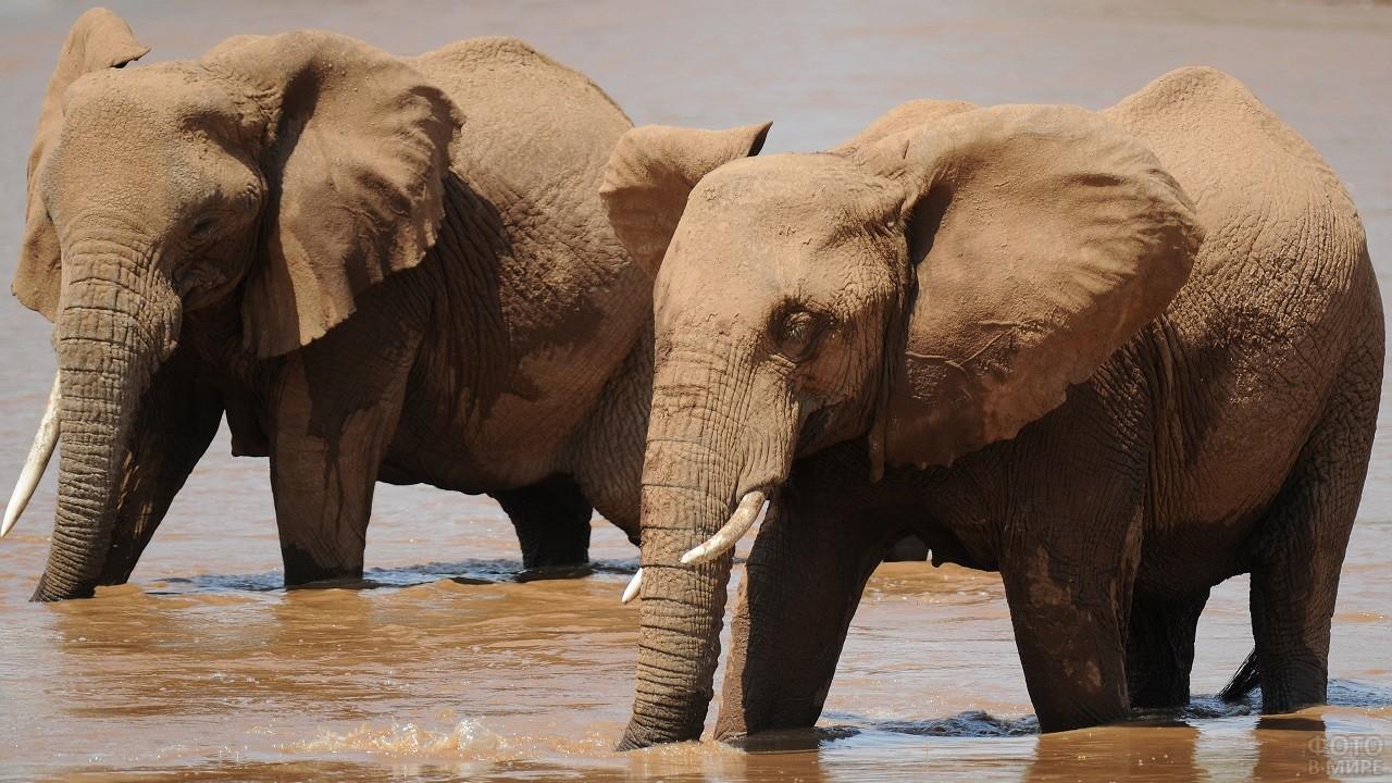 Африканские слоны идут по воде