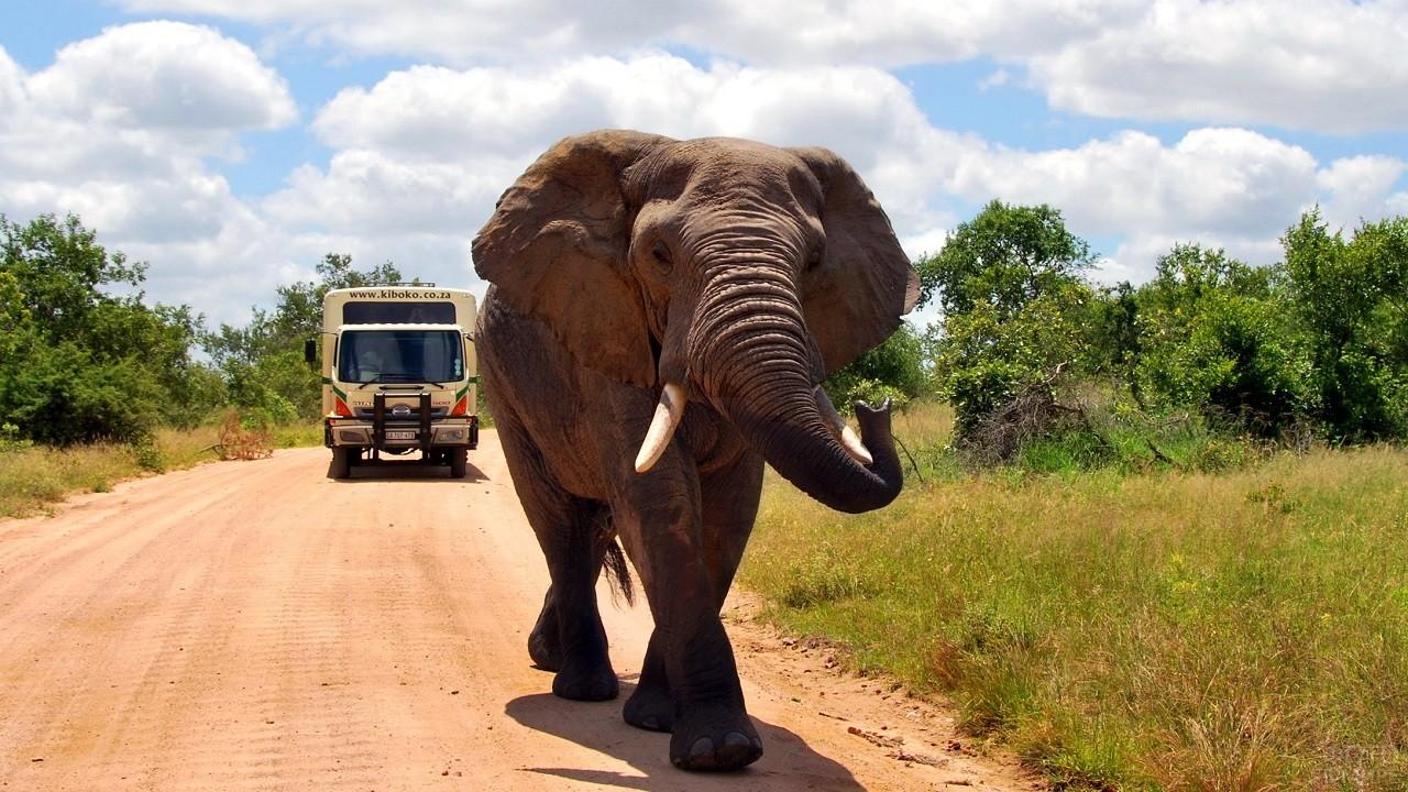 Африканский слон идёт по дороге впереди машины