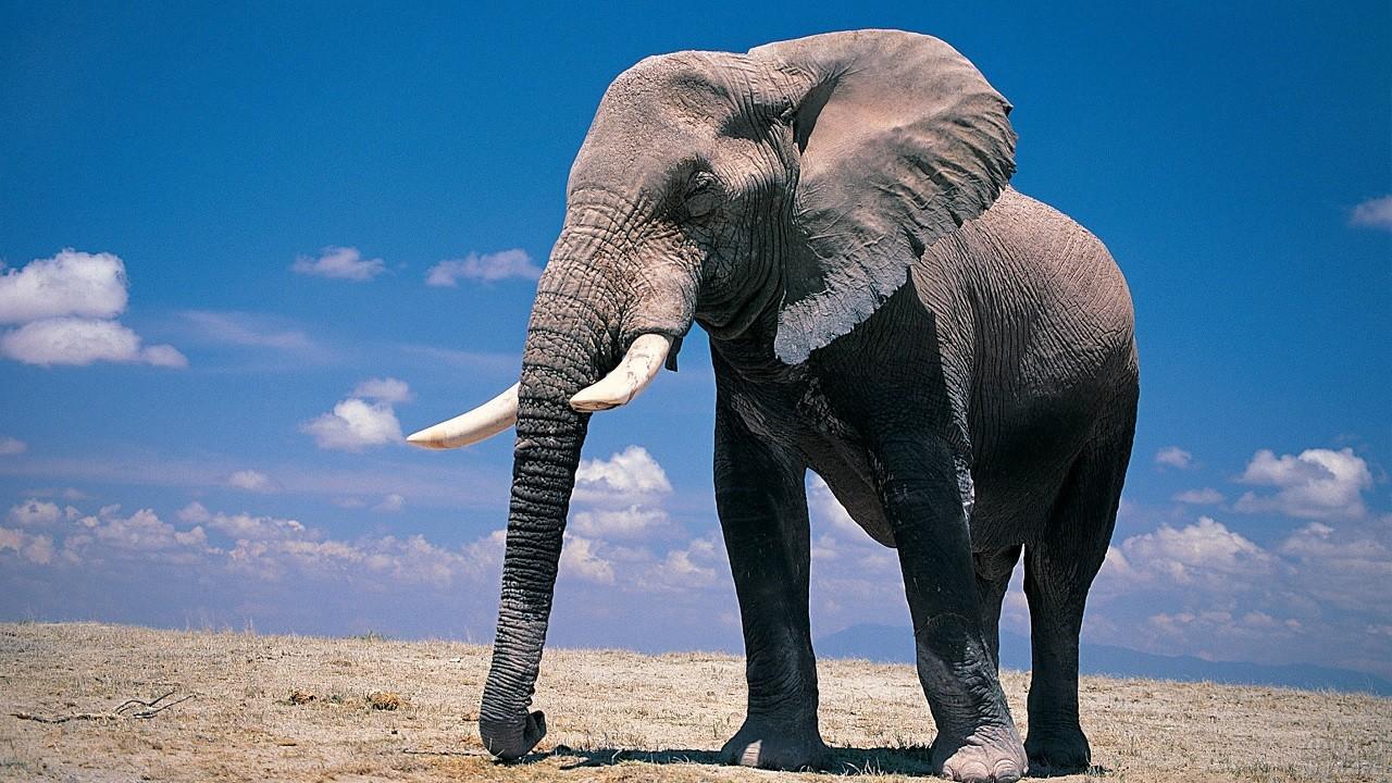 Африканский слон крупным планом