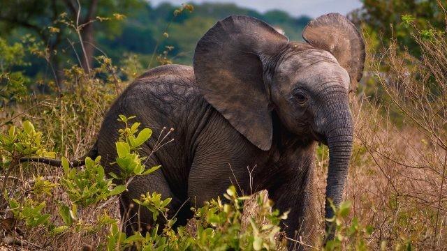 Африканский слоник оттопырил ушки