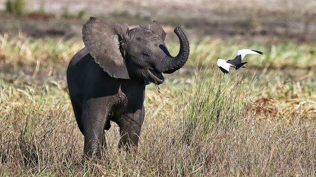 Детёныш слона весело играется с птицей