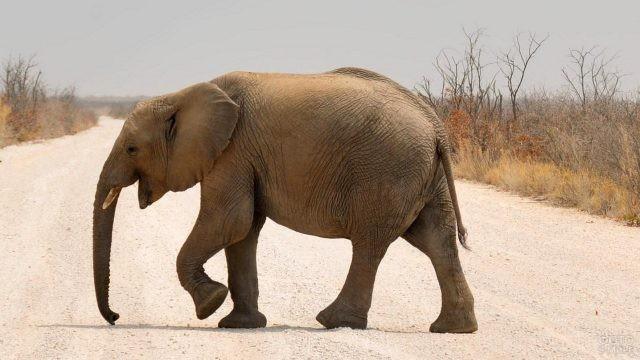 Довольный слонёнок переходит дорогу