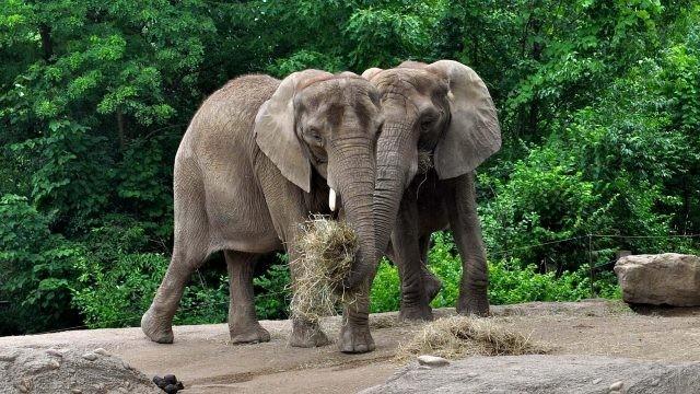 Двое слонят кушают сено