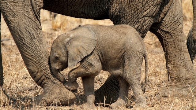 Малыш слоник уткнулся в ногу слонихе