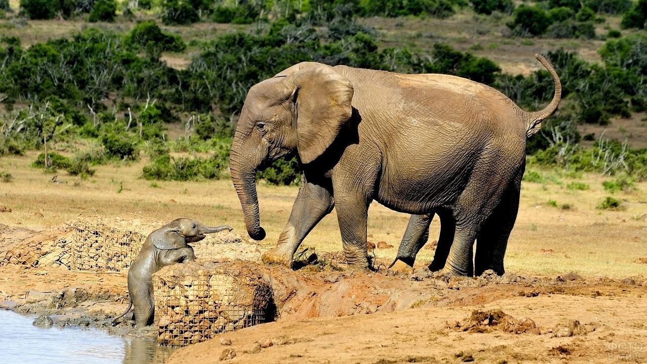 Малыш слоник выходит из воды к своей маме