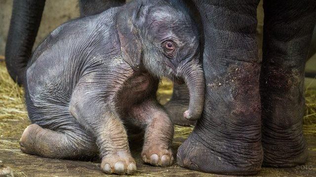 Новорожденный слоник сидит у ног своей мамы