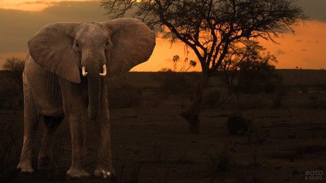 Одинокий слон посреди саванны на фоне красивого заката