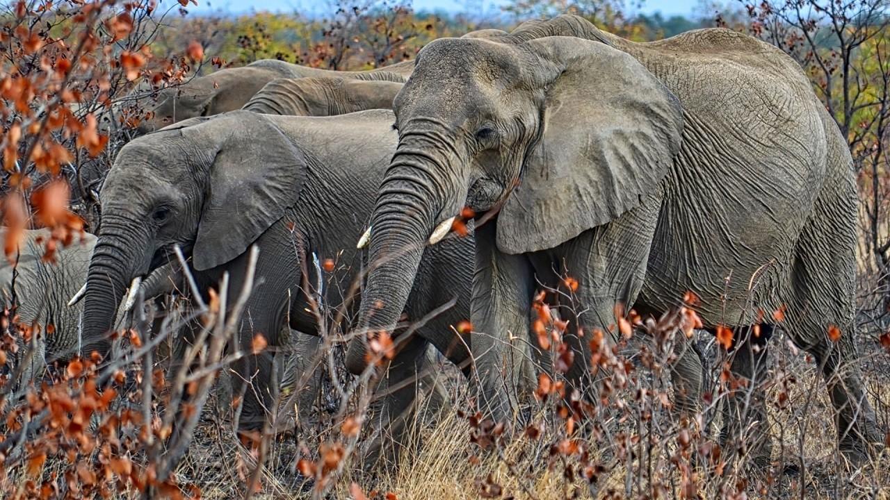 Семейство слонов гуляет в засохших зарослях