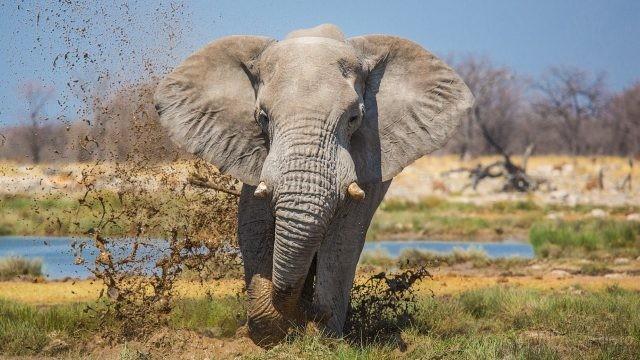 Слон бежит, поднимая грязь