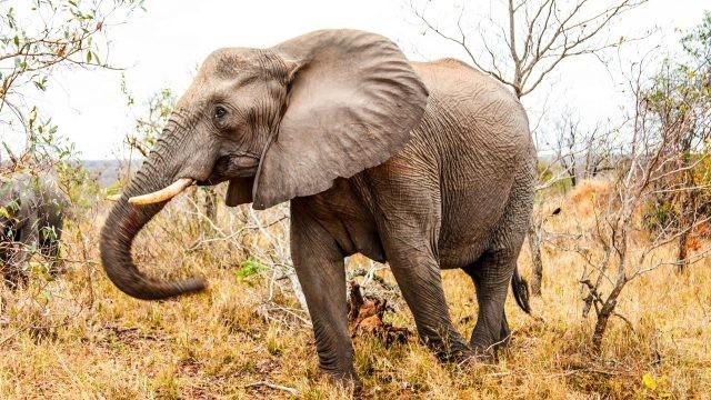 Слон гуляет по высохшей траве