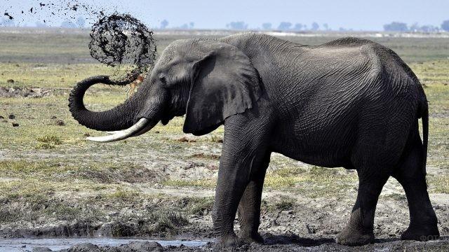 Слон подкидывает грязь через хобот
