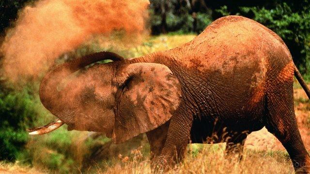 Слон посыпает себя песком