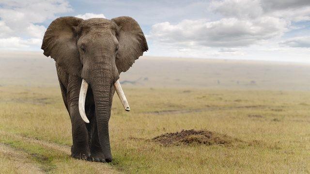 Слон с поломанным бивнем идёт по саванне