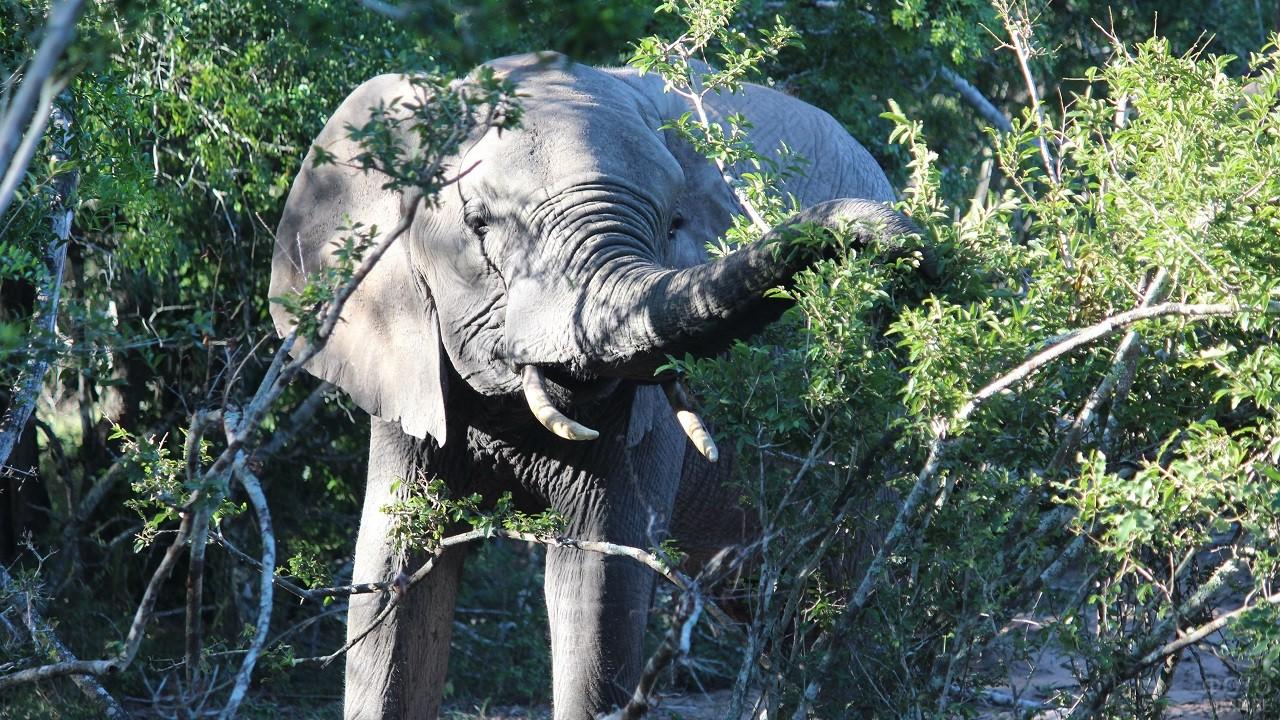 Слон в тропическом лесу поедает растение