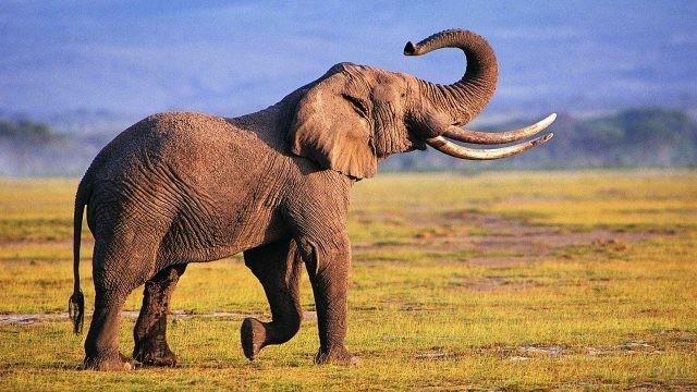 Слон, запрокинув хобот, радостно идёт по земле