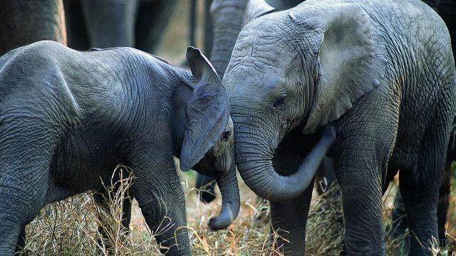 Слониха играет со слонёнком