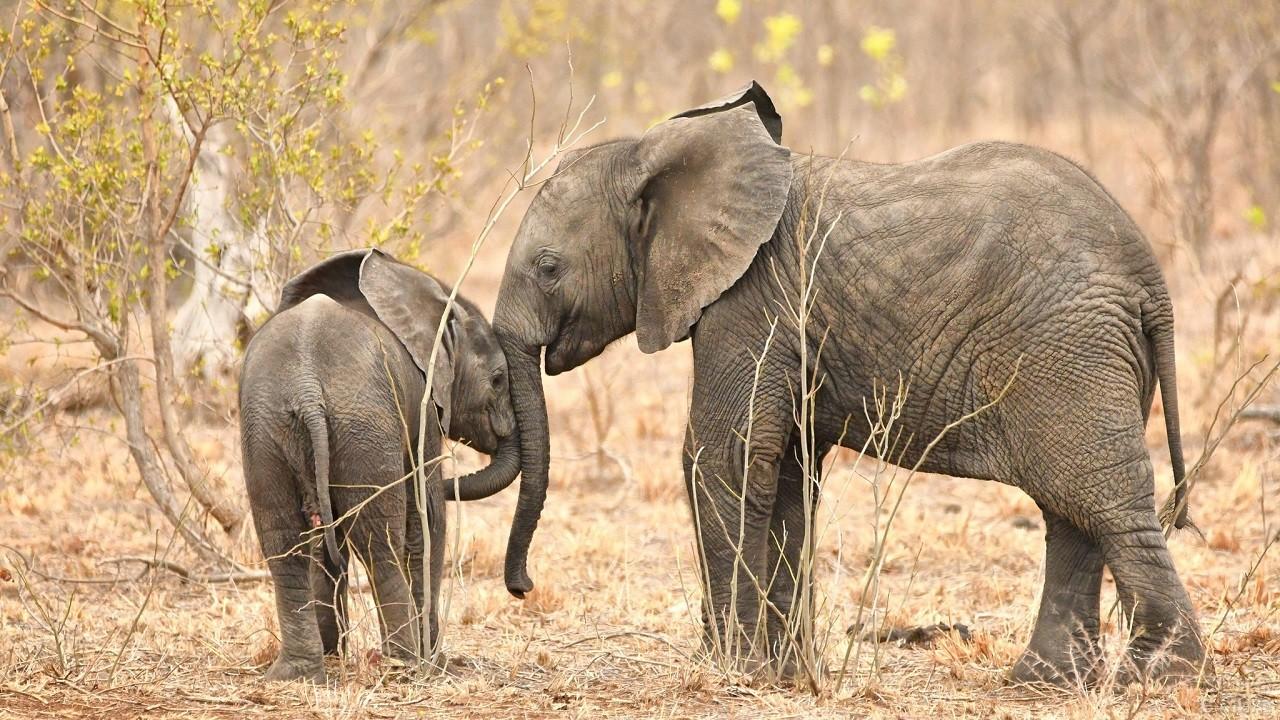 Слониха со слонёнком прислонились хоботами